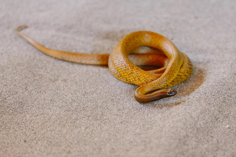 Inland taipan at snake show. (Gold Coast, Bundall, QLD, Australia royalty free stock photo