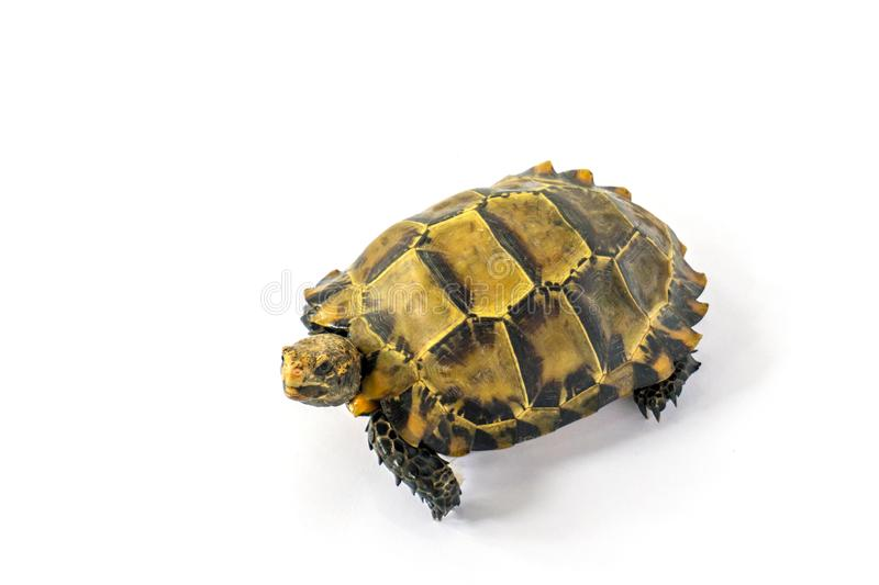 "Inland turtles in Asia are called ""Impressed tortoise, Manouria impressa "" isolated on white background. Africa, african, animal, beauty, closeup stock image"