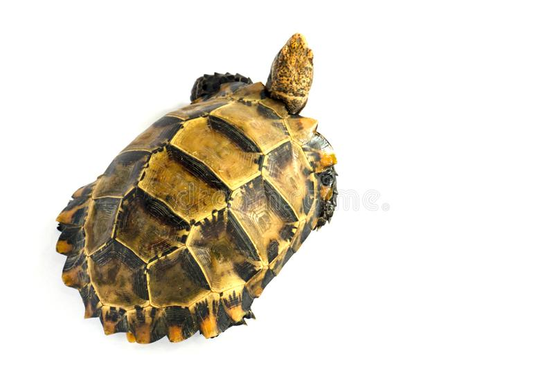 "Inland turtles in Asia are called ""Impressed tortoise, Manouria impressa "" isolated on white background. Armor, shield, wild, life, africa, african royalty free stock image"