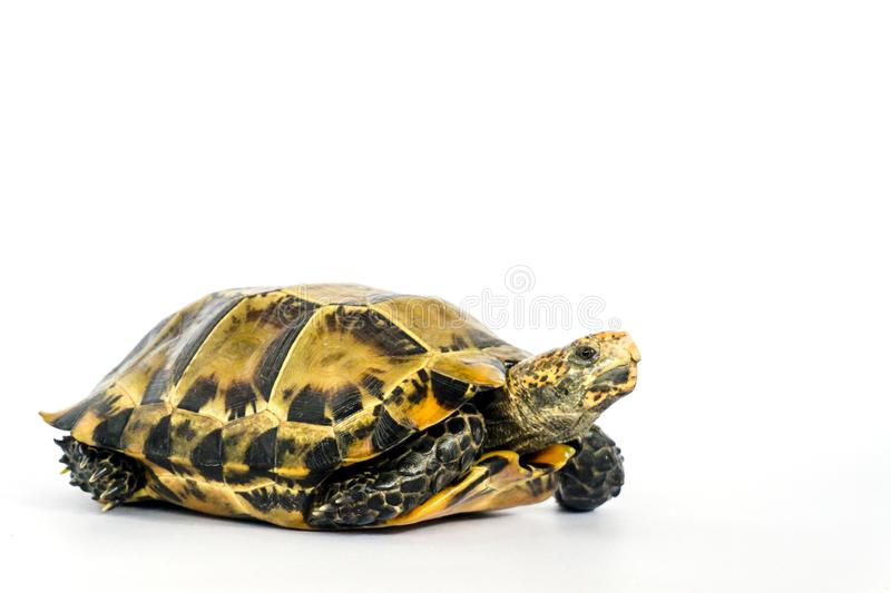"Inland turtles in Asia are called ""Impressed tortoise, Manouria impressa "" isolated on white background. Armor, shield, wild, life, africa, african stock images"