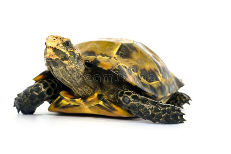Inland turtles in Asia are called & x22;Impressed tortoise, Manouria impressa & x22;  on white background. Bullfrog & x28;Kaloula pulchra& x29; isolated on stock image