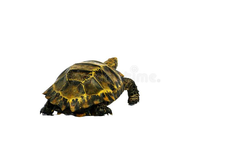 "Inland turtles in Asia are called ""Impressed tortoise, Manouria impressa "" isolated on white background. Africa, african, animal, beauty, closeup royalty free stock photography"