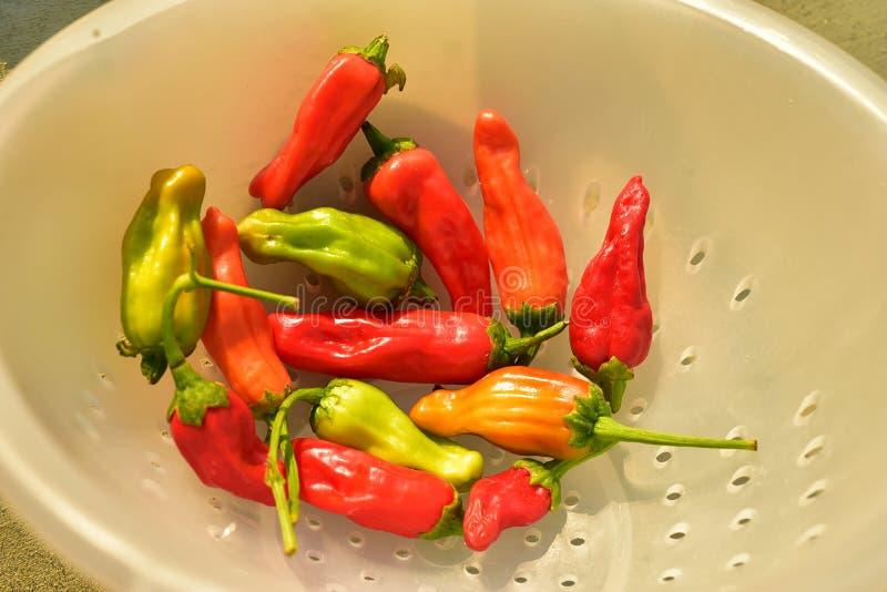 Inlands rood, sinaasappel, en het groene kleine hete kruidige plantaardige ingrediënt van de Spaanse peperpeper voor het koken stock foto