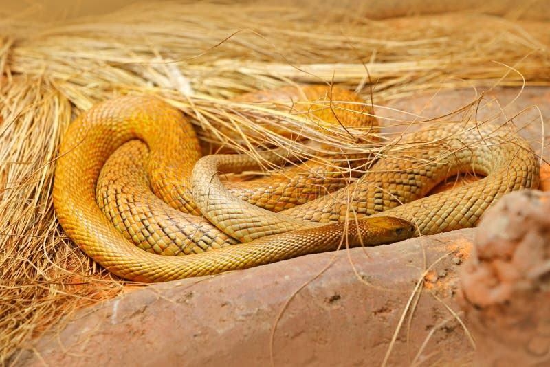 Inlands- taipan, Oxyuranusmicrolepidotus, Australien, mest giftig orm Giftorm i gräset Faradjur från Australien arkivfoto