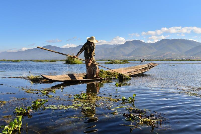 Inle lokale Myanmar dame die groen onkruid op boot verzamelen stock foto's