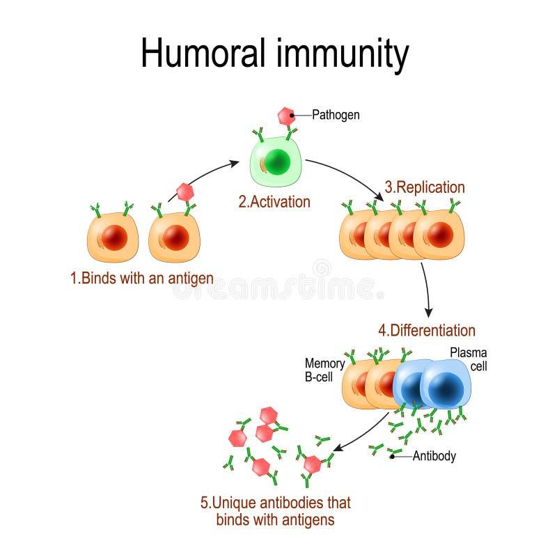 Inmunidad humoral inmunidad anticuerpo-mediada Viruse, linfocito, anticuerpo y antígeno Diagrama del vector para educativo, bioló stock de ilustración