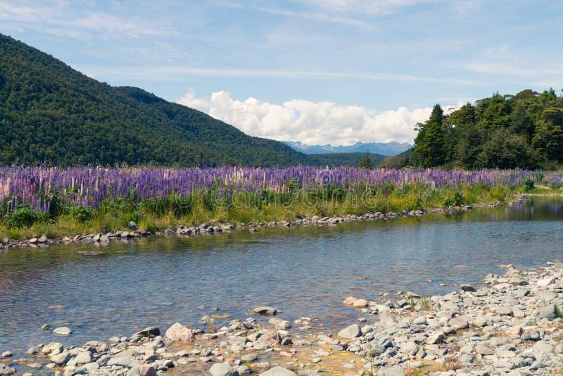 Innaffi il modo sopra il lupino della piena fioritura con il fondo della montagna, Nuova Zelanda fotografia stock libera da diritti