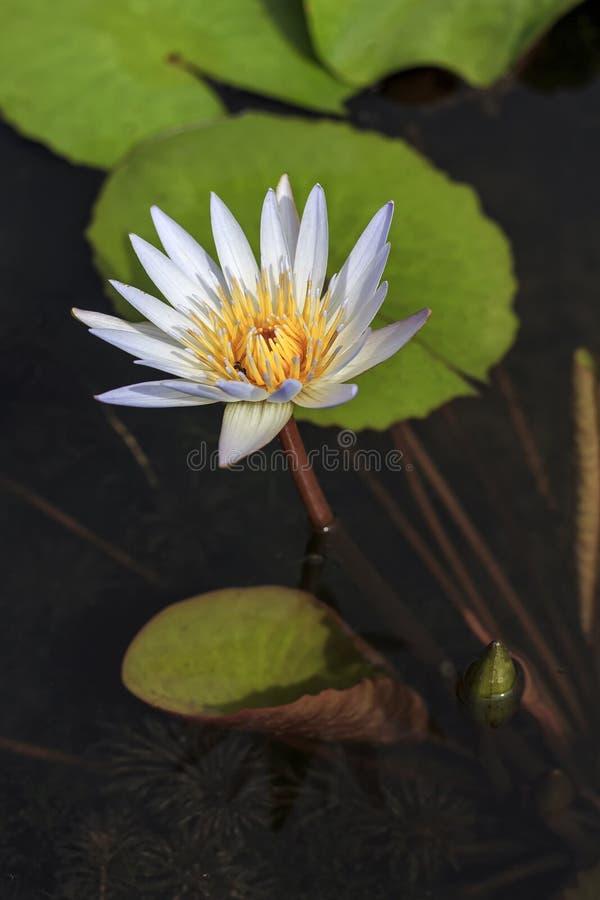 Innaffi lilly la fioritura e l'ape fotografie stock