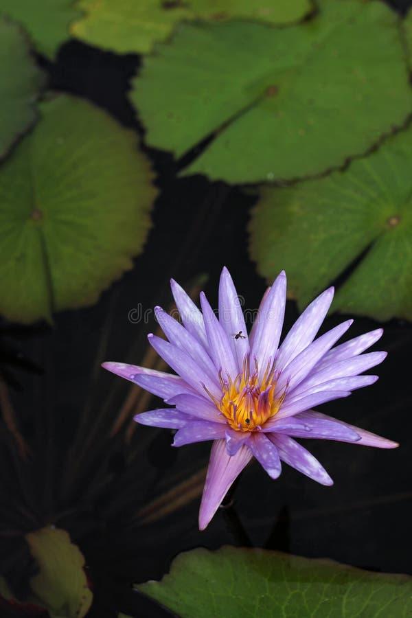 Innaffi lilly la fioritura e l'ape fotografia stock