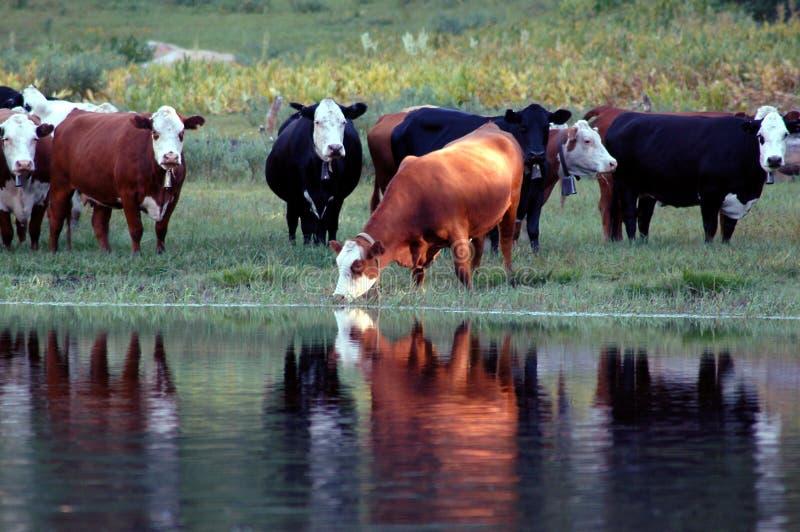 Innaffiatura del bestiame immagini stock