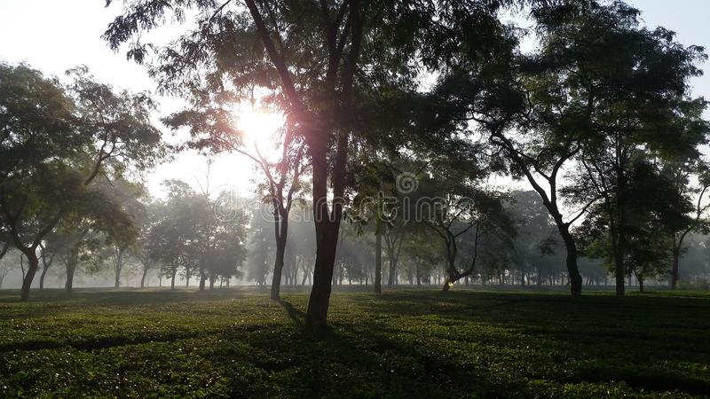 Innalzamento del Sun in un giardino di tè in India fotografia stock libera da diritti
