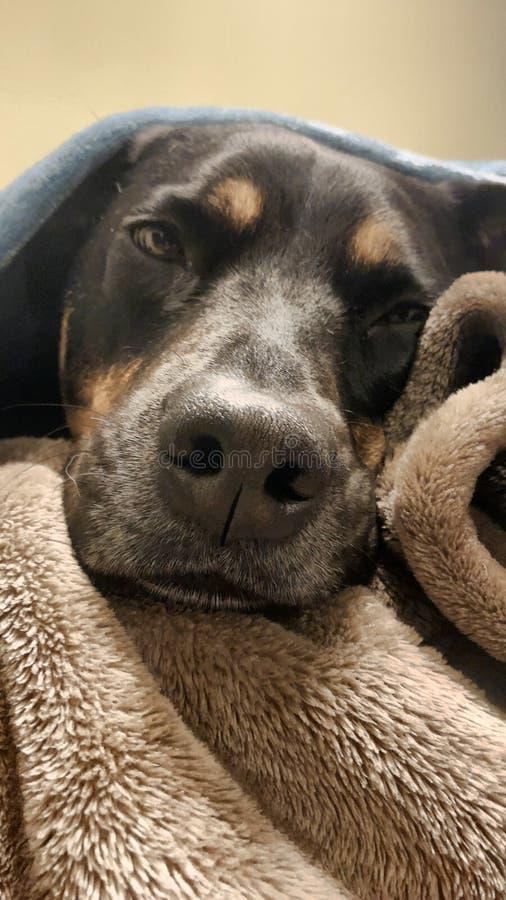 Innehåll Rottweiler under filtar royaltyfri foto
