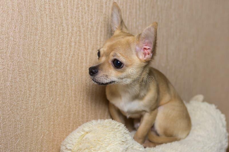 Innenporträt des neugierigen Chihuahuawelpen lizenzfreies stockfoto