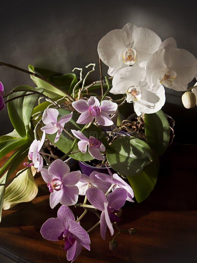 Innenraum, Orchideenbetriebsvasen mit schöner purpurroter und weißer Querstation lizenzfreie stockfotografie