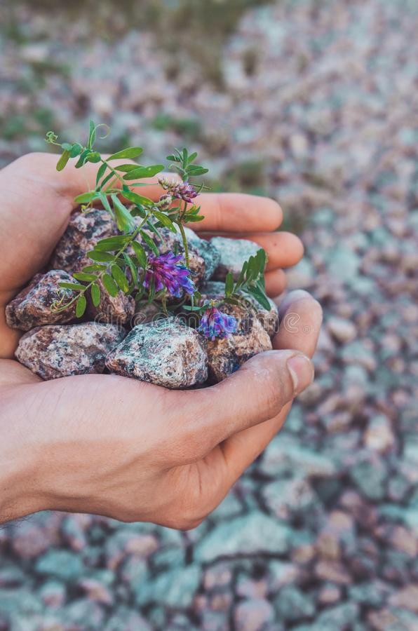 Inner balance concept: male hands holding stones with violet flowers, land background. Earth day, eco friendly. Nature wallpaper. royalty free stock photo