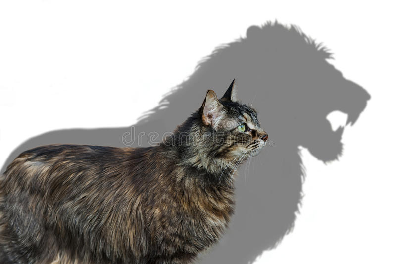 Inner Ferocity. Portrait of a house cat casting a lion`s shadow on a white wall stock image