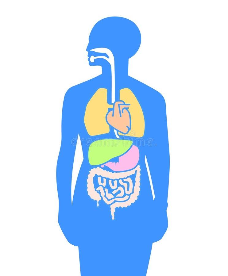 Inner organs human body stock vector. Illustration of cartoon - 14183756