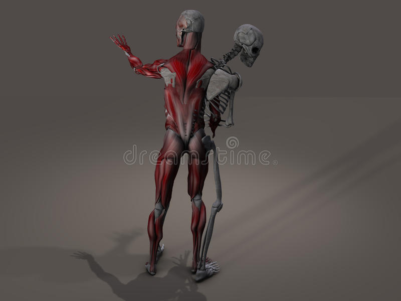 Inner skeleton and musculature divide. Inner skeleton and musculature man divide royalty free illustration