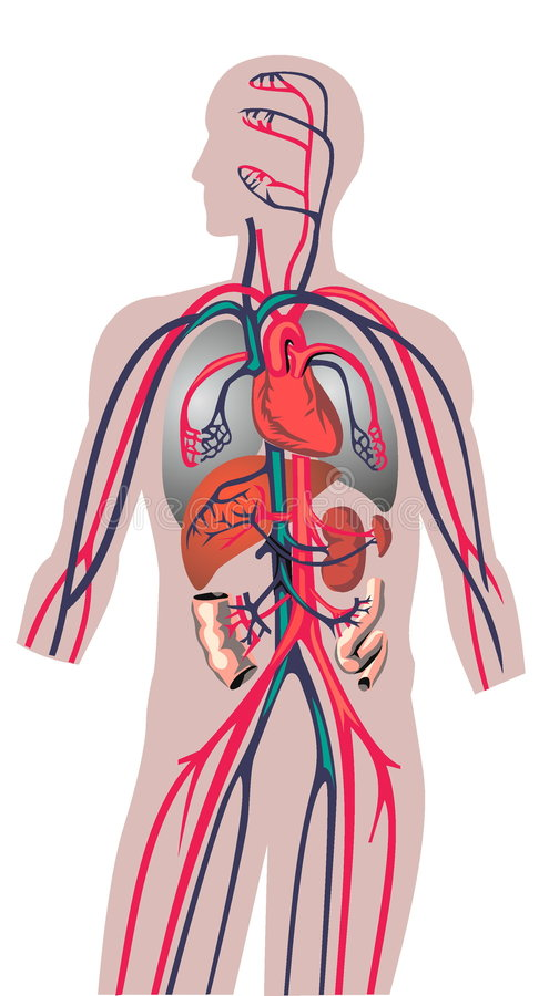 innere organe des mannes stock abbildung illustration von blut 5937351. Black Bedroom Furniture Sets. Home Design Ideas