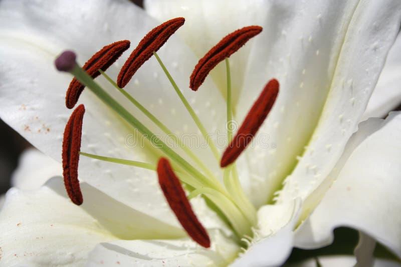 Innere weiße Lilie stockfotos