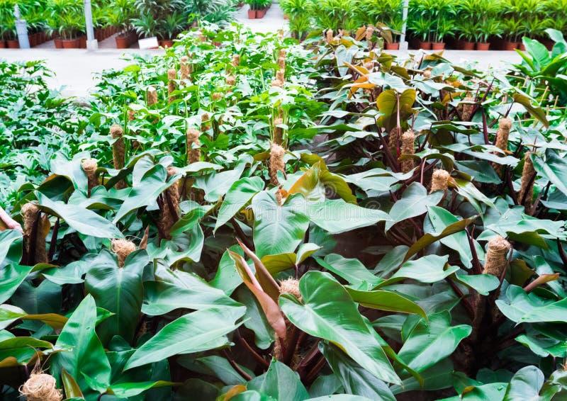 Innerer Handelsplastik bedeckte das Gartenbaugewächshaus des Garten-Centers Beetpflanze verkaufend stockbild