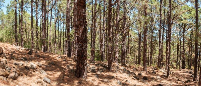 Innerer Nadelbaumwald, Kiefer in der Waldlandschaft, Esperanza lizenzfreie stockbilder