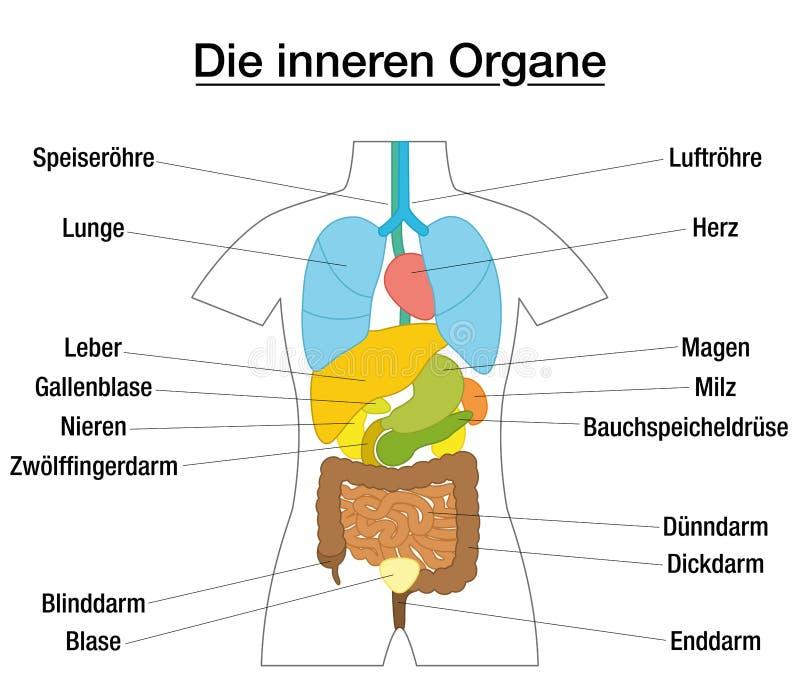 Innerer Organ-schematisches Diagramm-Deutscher Vektor Abbildung ...