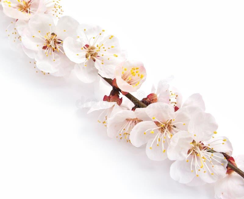 Inneres und Kirschblüte. stockbilder