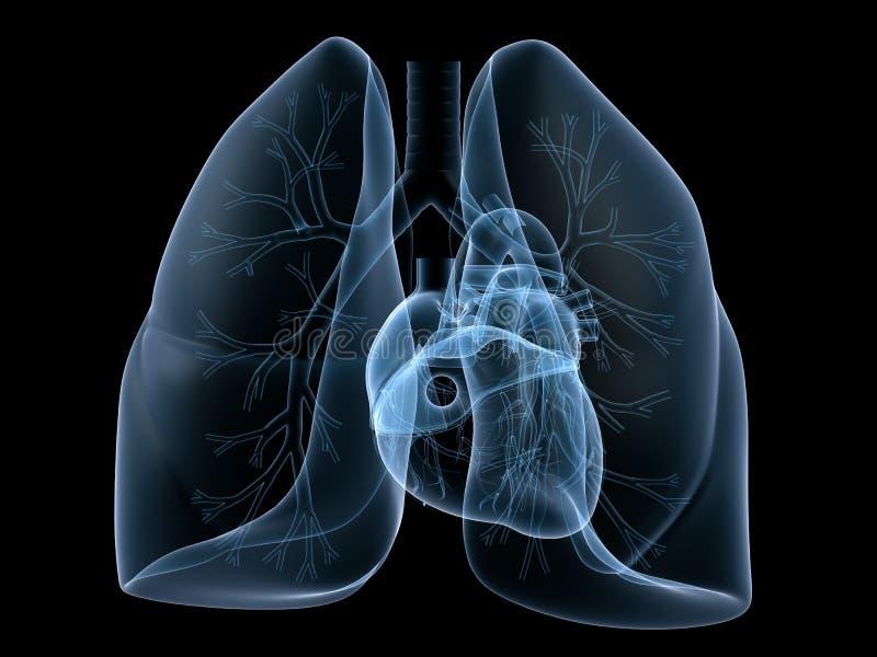 Inneres und Lungenflügel lizenzfreie abbildung