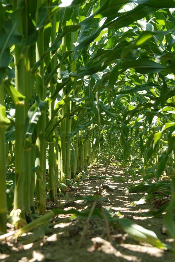 Innerhalb der Mais-Stiel-Reihen stockbilder