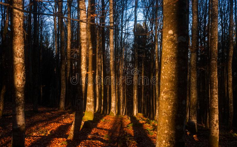 Innerhalb des Waldlandes bei Sonnenuntergang mit dem Sonnenlicht, das Baumstämme schlägt stockbilder
