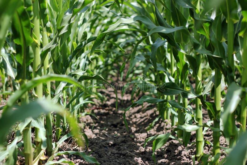 Innerhalb eines Mais-Feldes stockfotografie