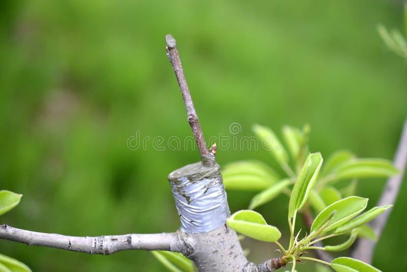 Innestando albero da frutto, posto innestato innestando nastro fotografia stock