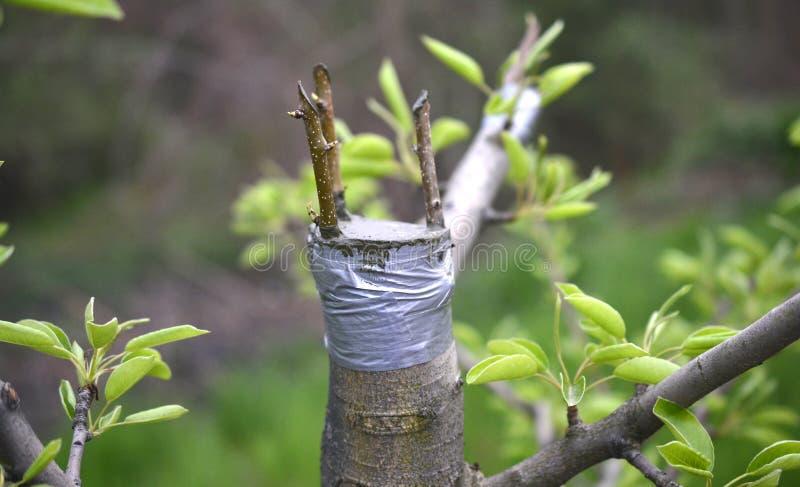 Innestando albero da frutto, posto innestato innestando nastro fotografie stock