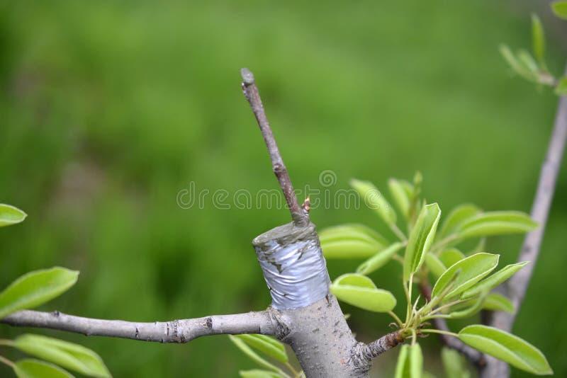 Innestando albero da frutto, posto innestato innestando nastro immagini stock libere da diritti