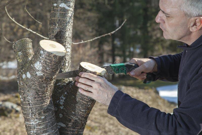 Metà di sawing invecchiato del giardiniere dell'uomo, albero da frutto di taglio fotografie stock