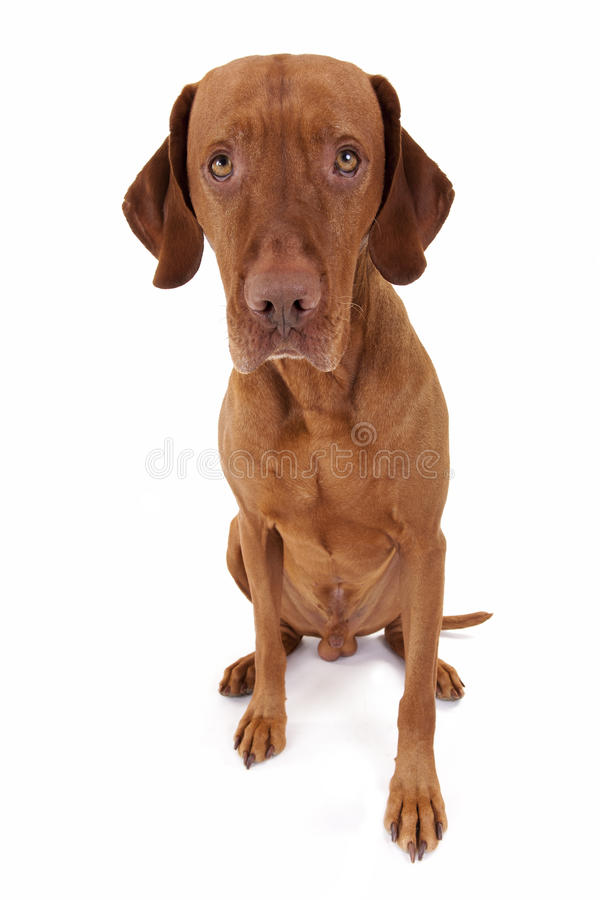Download Innocent dog stock photo. Image of breed, vizsla, innocent - 29432452