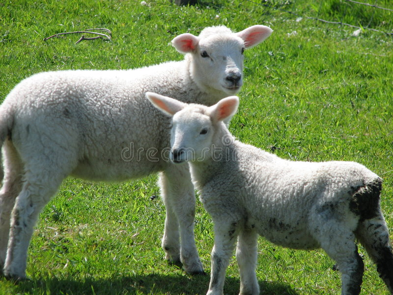 Download Innocent Lambs stock photo. Image of field, scottish, curious - 3892208