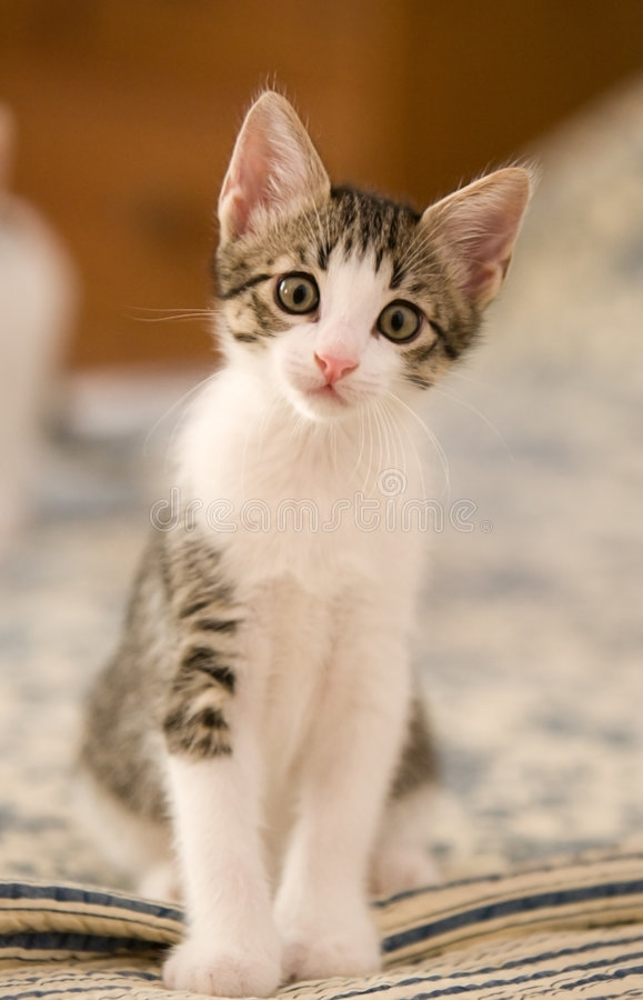 Innocent Kitten. Looking at the Camera stock photography