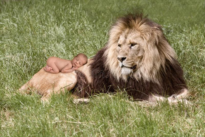 Baby sleeping on lion. Innocent newborn baby sleeping on the back of an Africa lion stock photo
