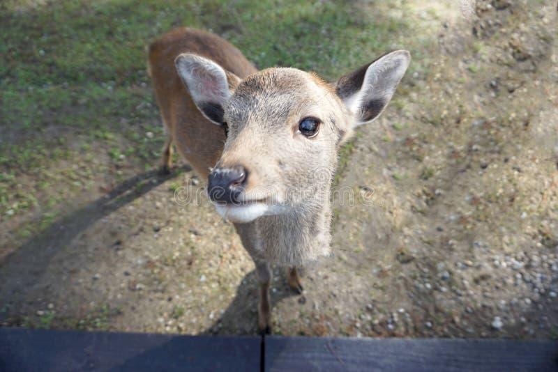 The innocent Shiga Deer at Nara stock photo