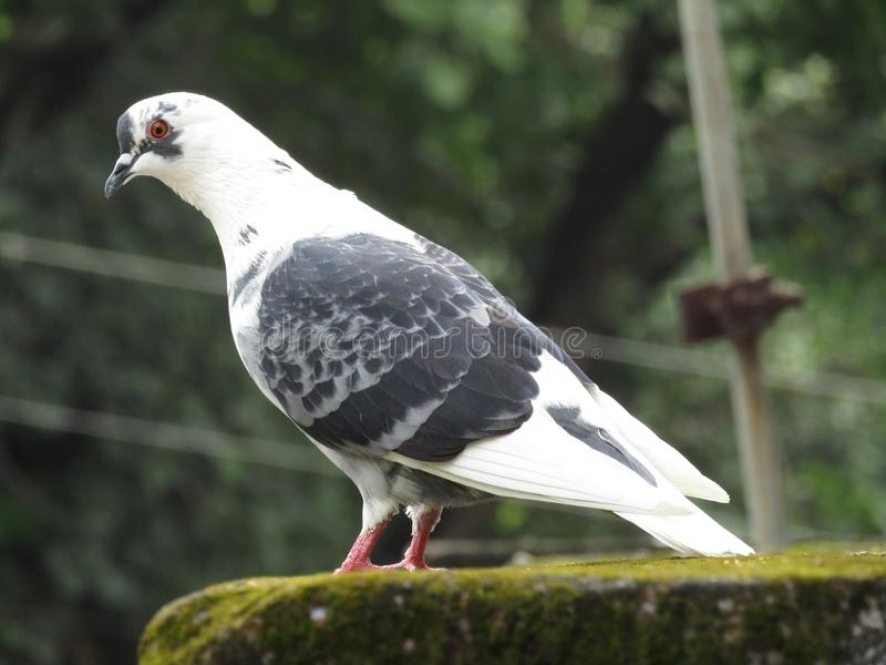 Innocent white pigeon watching. Innocent white pigeon bird watching `symbol of peace` `King of pigeon` Indian pigeon royalty free stock photos