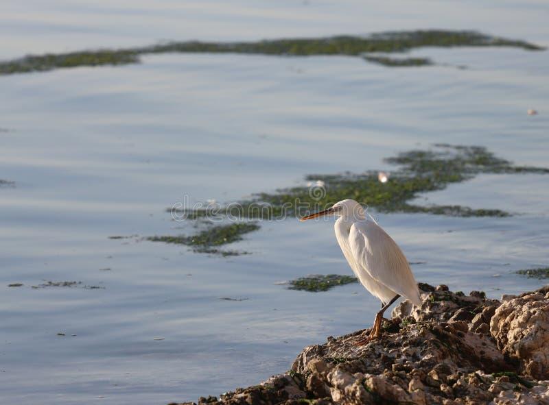 Inny Niewiadomy ptak na Khubar plaży obraz royalty free