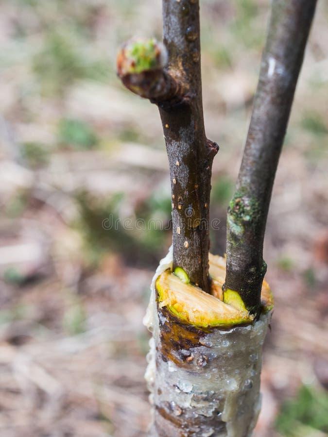 Inoculazione in primavera di di melo in raspis incrocio fotografia stock