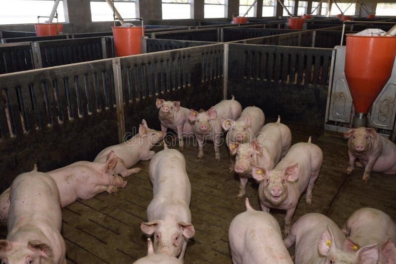 Inom en svinfarm för fotografering för bildbyråer