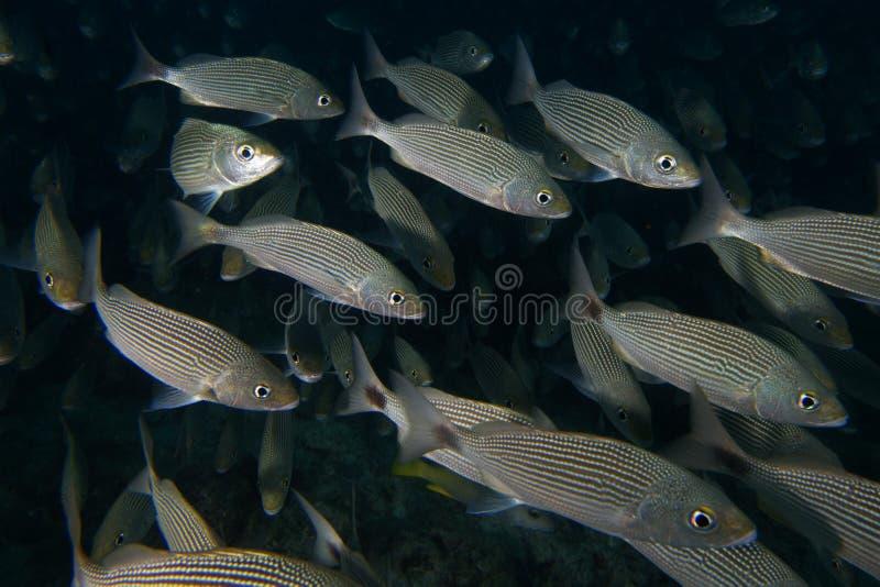 Inom en undervattens- skola av fisken arkivfoto