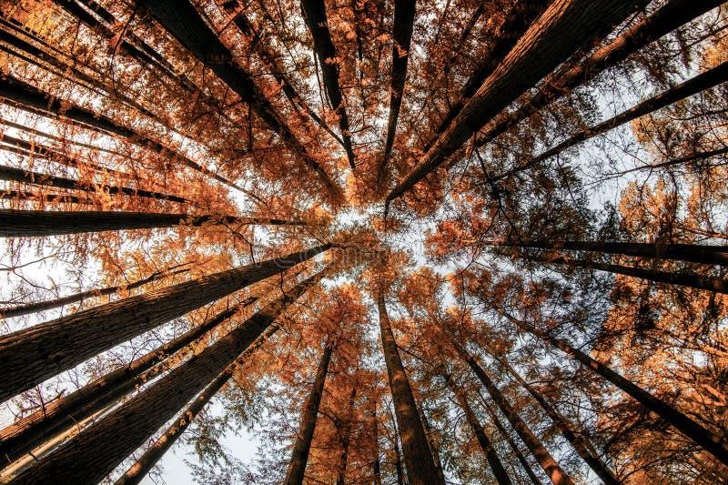 Inom uppåtriktad sikt för skog i hösttid med cypressträd arkivfoton