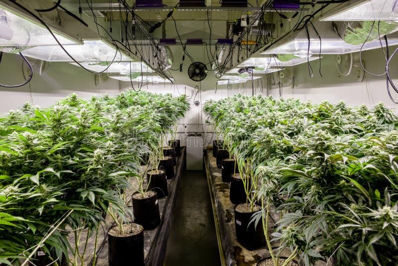 Inomhus marijuana växer rum som visar massor av växter arkivfoton