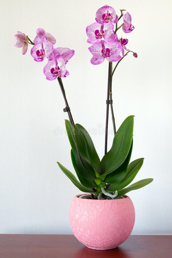 Inomhus rosa orkidéblomma i inre fotografering för bildbyråer