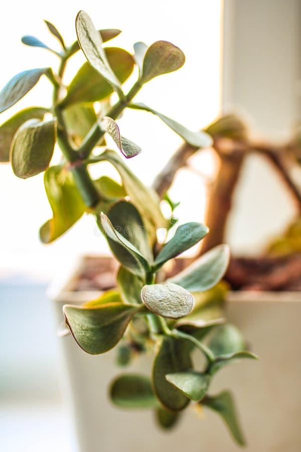 Inomhus växt - pengarträd Slapp fokus arkivfoto